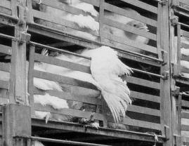e funktioniert rupfmaschine für hühner